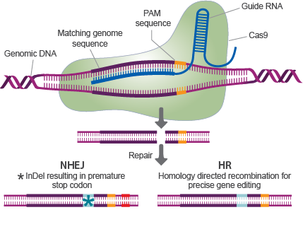 CRISPR Gene Editing, image by CRISPR Genome Editing