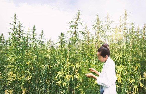 marijuana in universities