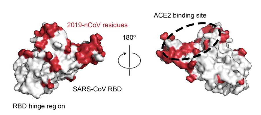 Illustration showing how the molecular surface of SARS-CoV-2 (in red) compares with SARS-C0V (in white). Image credit: D. Wrappet al., Science10.1126/science.abb2507(2020).